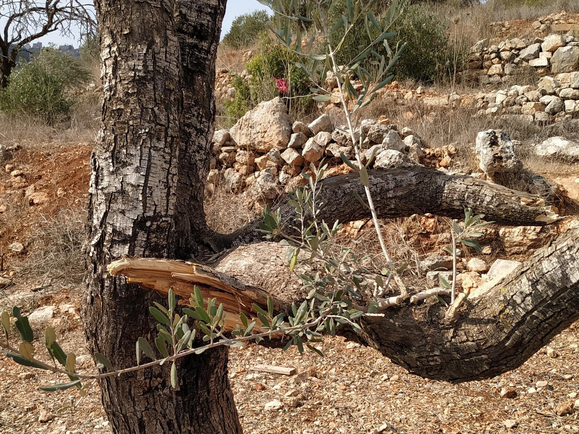 עץ זית מושחת