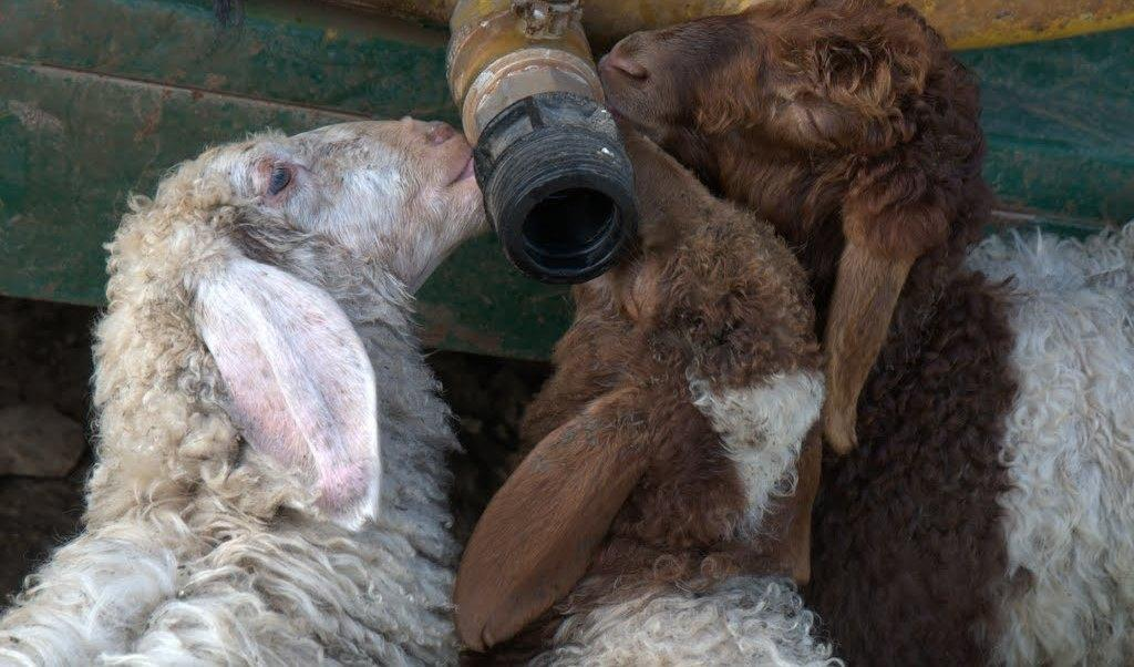 Sheep lick a dry tube